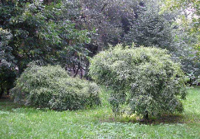 Уральская ива в ландшафтном дизайне