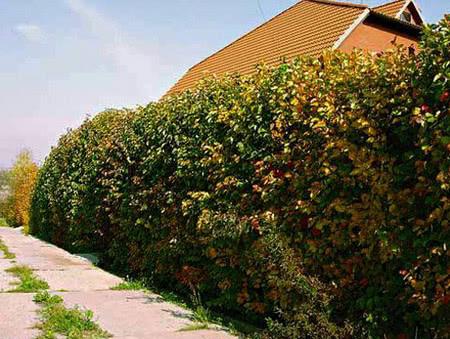 Забор из боярышника