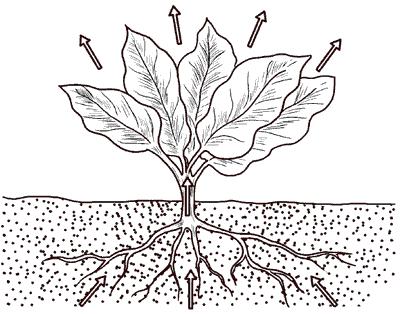 Рис. 4. Поглощение и расходование влаги растением.