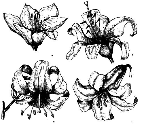 Рис. 6. Формы цветков различных сортов лилии: а – чашевидная; б – воронковидная; в – чалмовидная; г – трубчатая