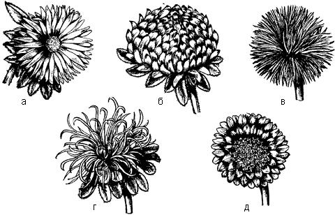 Рис. 8. Формы соцветий астры однолетней: а – простая; б – пионовидная; в – лучевая; г – страусово перо; д – венечная