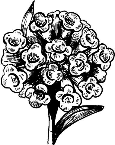 Рис. 73. Цветущая лобулярия