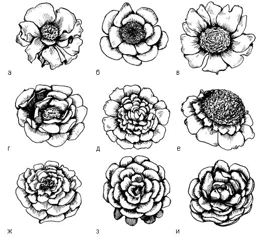 Рис. 74. Форма цветков пиона молочноцветкового: а – немахровая; б – японская; в – анемоновидная; г – полумахровая; д – махровая; е – корончатая; ж – полушаровидная; з – розовидная; и – полурозовидная