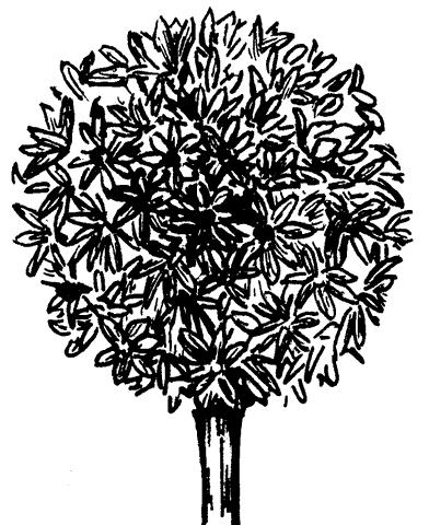 Рис. 75. Примула