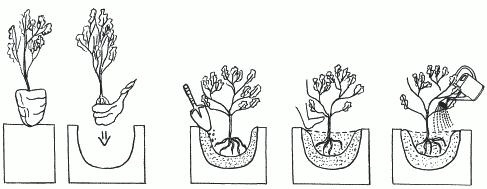 Рисунок 32. Посадка растения: а – освобождение корня от чехла; б – засыпание корней почвой; в – уплотнение почвы вокруг саженца; г – полив
