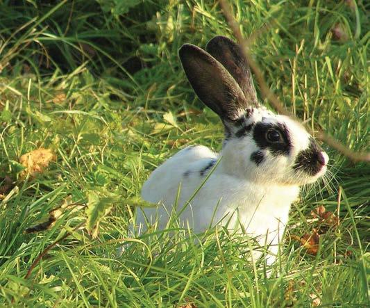 Рис.3.7. Пойманный с помощью ловчей петли заяц-беляк, долго проспавший зимой, а потому не успевший полинять